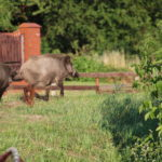 3 von 7 Wildschweinen auf dem Frischen Haff