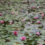 Turaida (LV) – Wasserrosen auf dem See am Stellplatz