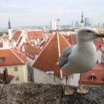 Tallinn (EST) – Die Möwe wollte unbedingt ins Bild