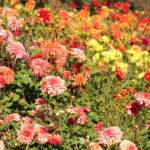 Insel Mainau – Im Daliengarten