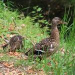 Chenonceaux (F) – Im Park des Wasserschlosses dürfen Enten nicht fehlen