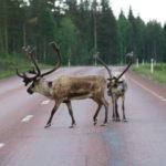 Fågelsjö Gryssjövägen (S) – Begegnung auf der Straße nach Östersund