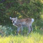 Auf dem Weg nach Kiruna (S) – Rentierbaby