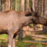 Överkalix (S) – Arctic Moose Farm (war geschlossen) – habe sie trotzdem vor die Linse bekommen
